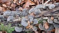 Schmetterlingstrampete