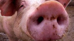 Schwein reckt Schnauze hoch.