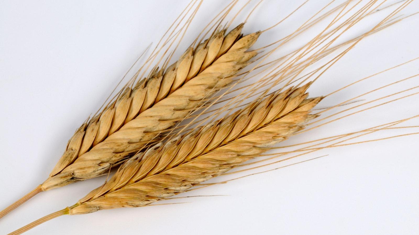 Historie Einkorn 100 Gseagaleriexl Weizen Getreide