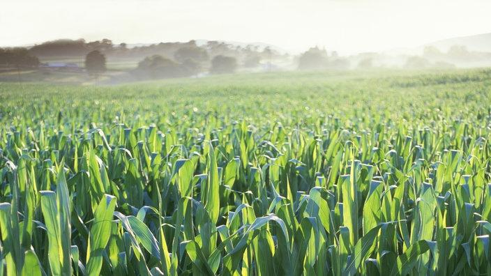 Gewichtsverlust Produkte in Argentinien Mais