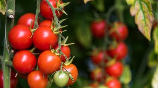 tomaten eigenanbau lebensmittel gesellschaft planet wissen. Black Bedroom Furniture Sets. Home Design Ideas