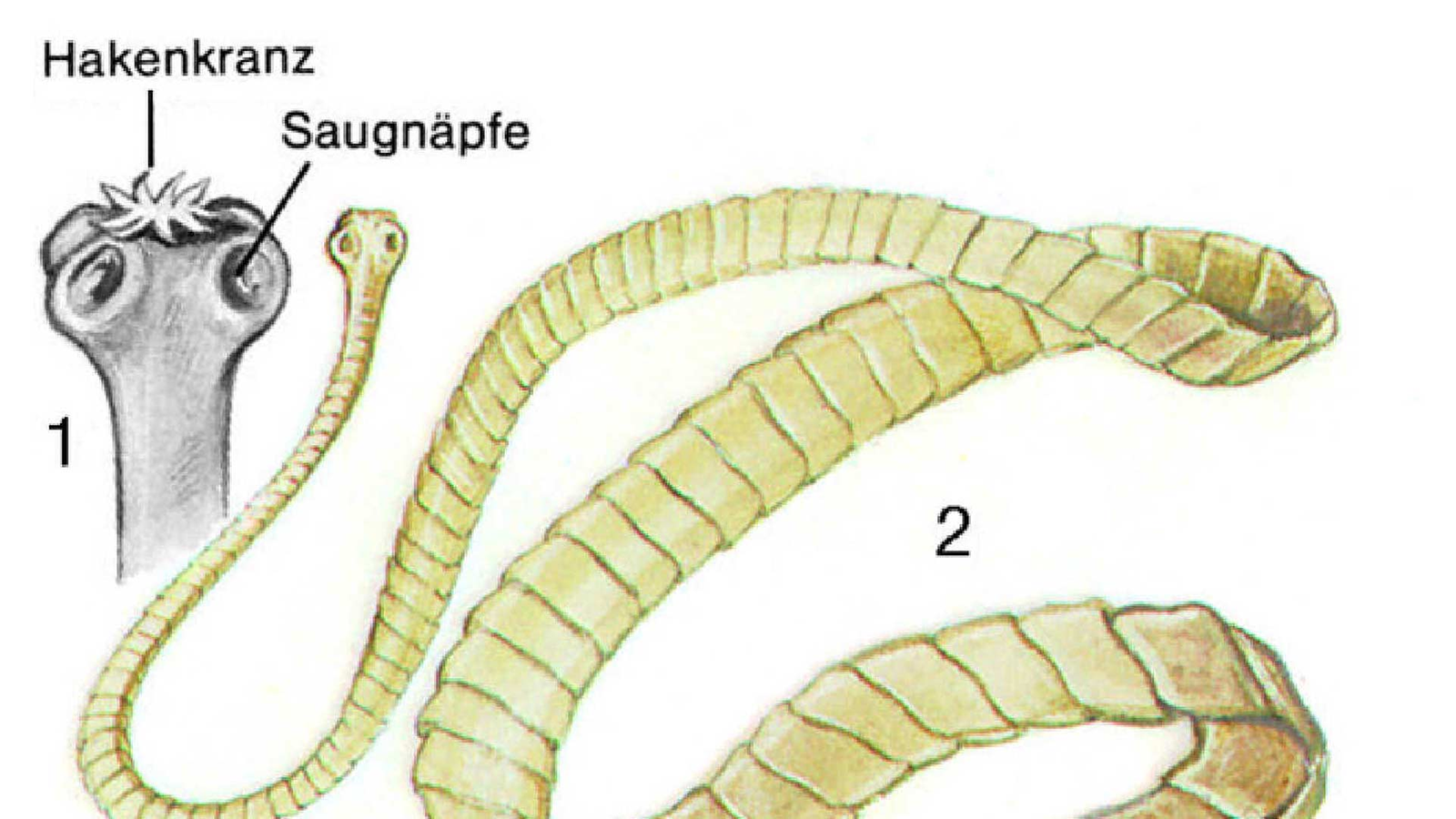 Die Prophylaxe von den Würmern für die Kinder zwei Jahre