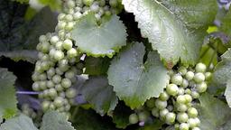 Weintrauben an einem Rebstock.