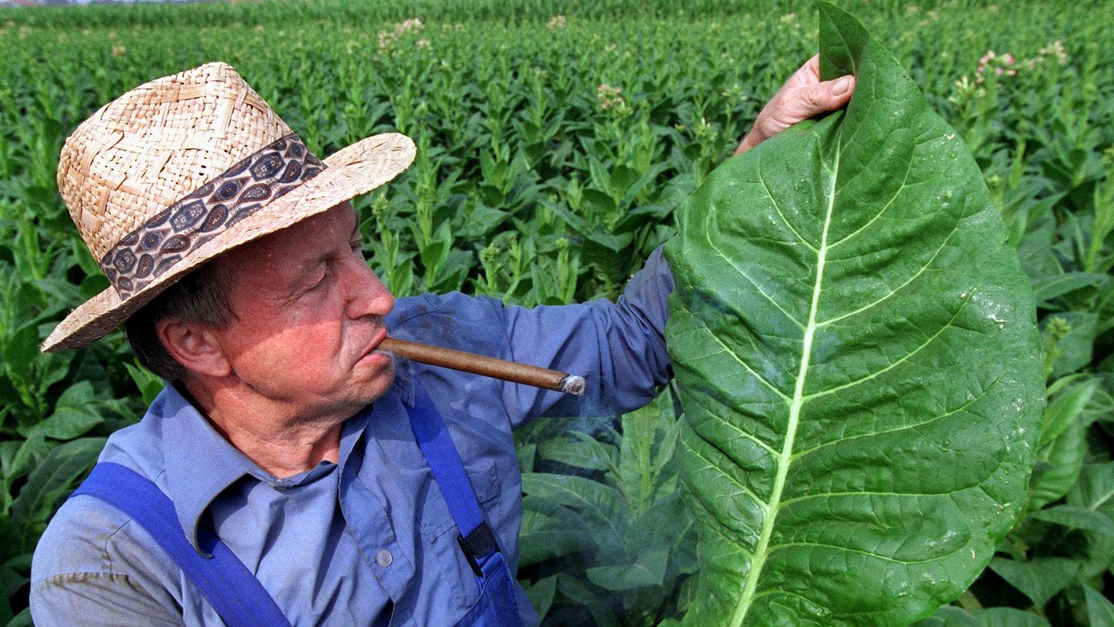nikotin tabakpflanze rauschmittel gesellschaft planet wissen. Black Bedroom Furniture Sets. Home Design Ideas