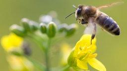 Biene fliegt auf gelbe Blüte zu.