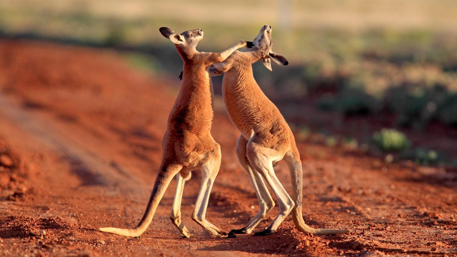 Australisches Outback: Australiens Tierwelt - Australien und ...