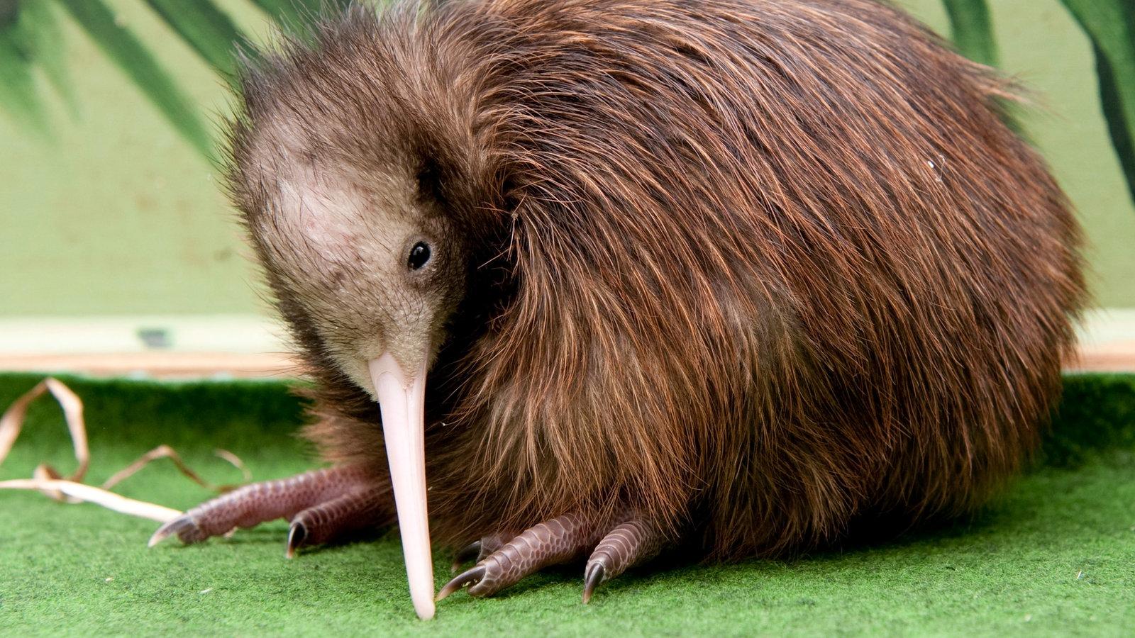 neuseelands natur kiwi australien und ozeanien kultur planet wissen. Black Bedroom Furniture Sets. Home Design Ideas
