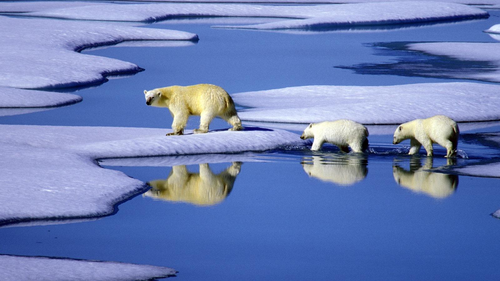 Arktische Tierwelt: Eisbären - Polarregionen - Natur - Planet Wissen