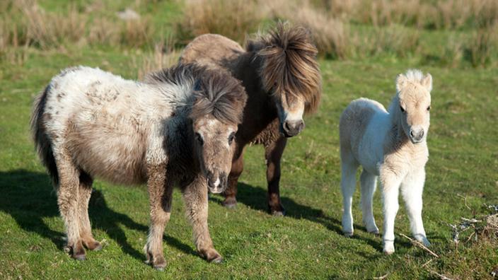 La imagen muestra tres potros pony salvajes de Dartmoor.