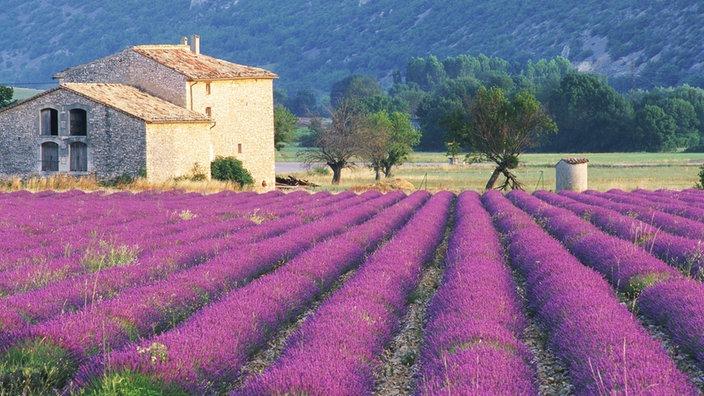 Westeuropa provence westeuropa kultur planet wissen for Lavendelfelder provence