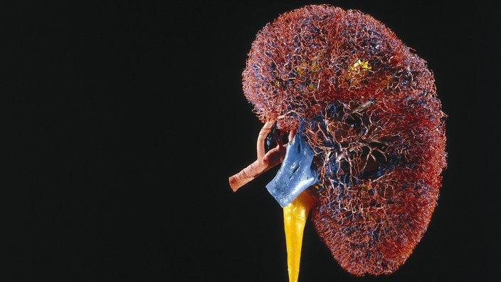 Anatomie des Menschen: Nieren - Nieren - Natur - Planet Wissen