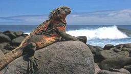 Das Bild zeigt eine Meerechse, die sich auf den Galapagos-Inseln auf einem Felsen sonnt.