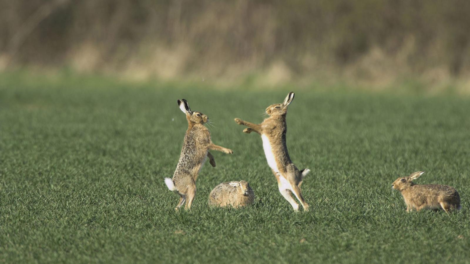 Hase kaninchen unterschied