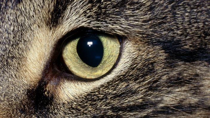 Katzen: Katzenauge - Katzen - Haustiere - Natur - Planet Wissen