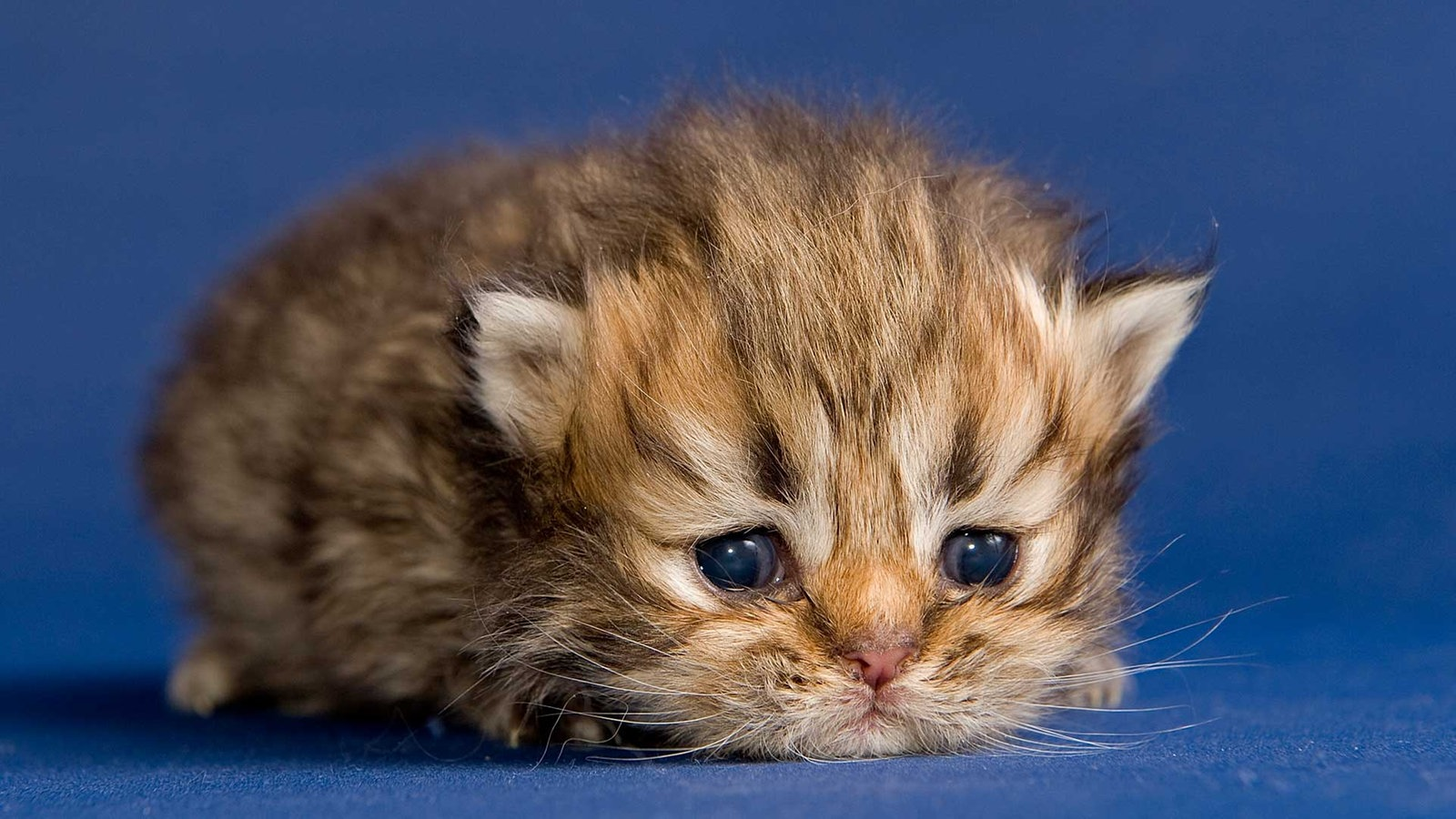 Katzen baby wallpaper
