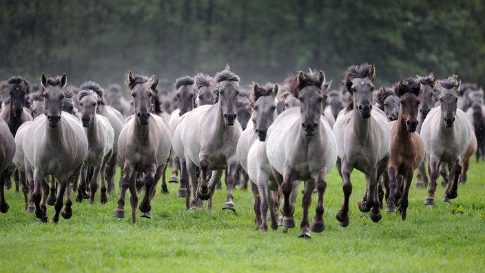 Eine Herde grauer und brauner Pferde galoppiert über eine Lichtung