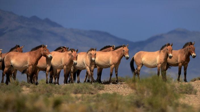 Eine Herde Przewalski-Pferde in der mongolischen Steppe