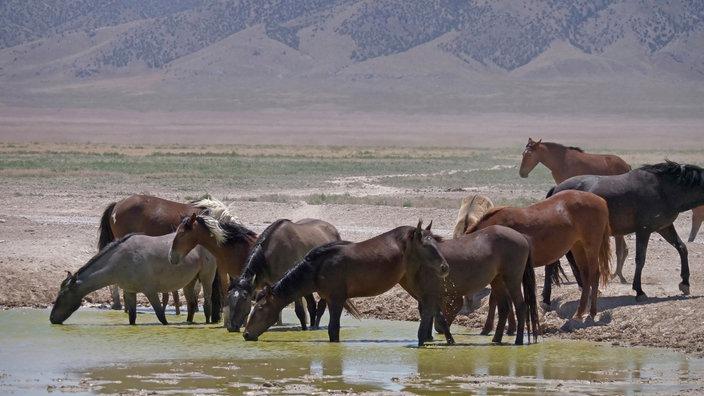 Eine Herde Mustangs an einem Wasserloch