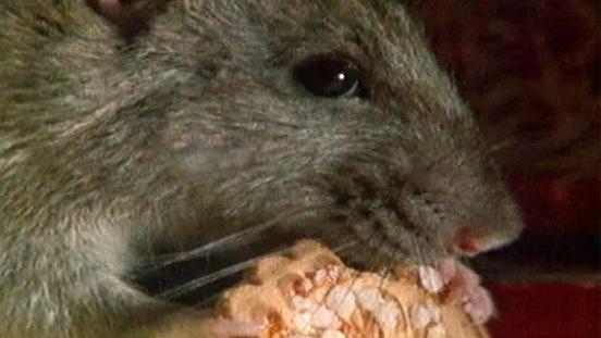 Ratten Wenn Ratten Zum Problem Werden Ratten Haustiere Natur