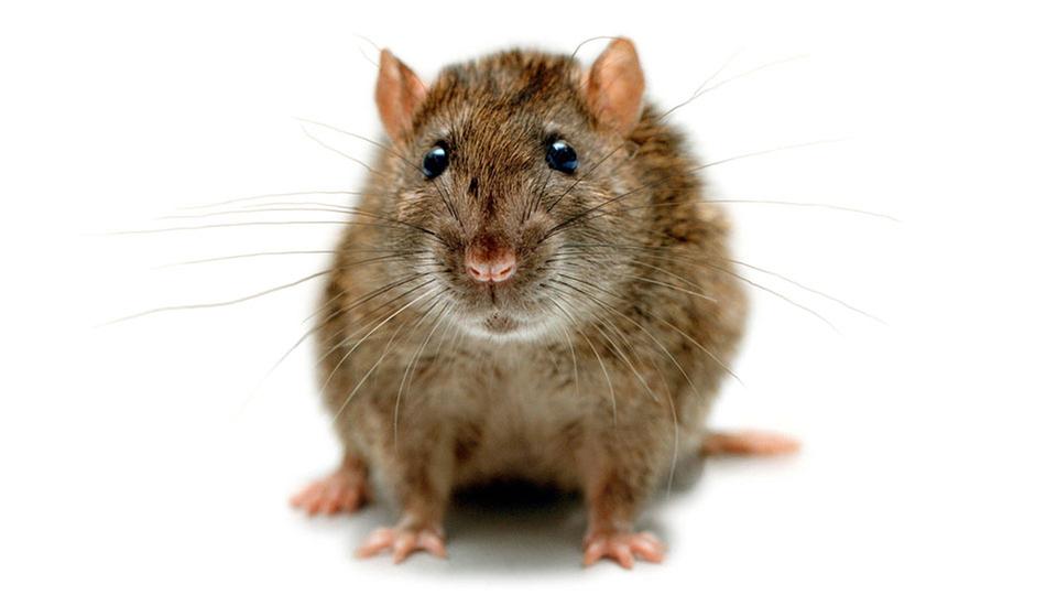 Nacktmull Ratten Fotos