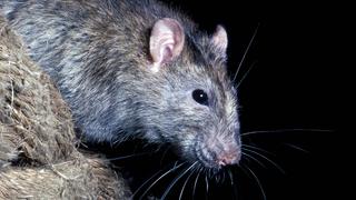 Kopf einer Ratte.