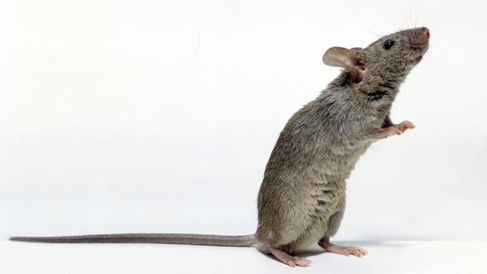Ratten Tipps Zur Rattenhaltung Ratten Haustiere Natur