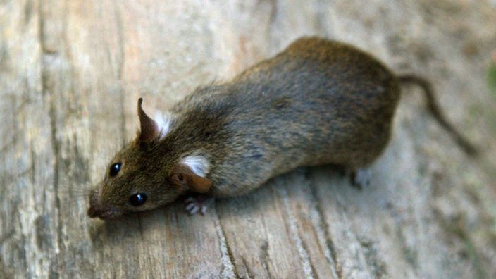 ratten biologie der ratte ratten haustiere natur. Black Bedroom Furniture Sets. Home Design Ideas