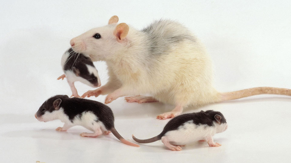 Ratte Haustier