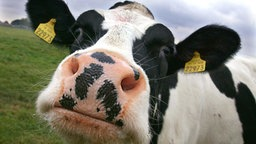 Nahaufnahme einer schnuppernden Holstein-Friesian-Kuh.