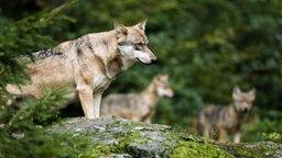 Ein Wolf auf felsigem Untergrund im Wald.
