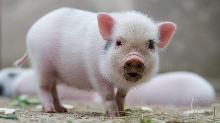 Schweine Minischweine Als Haustiere Schweine Haustiere Natur
