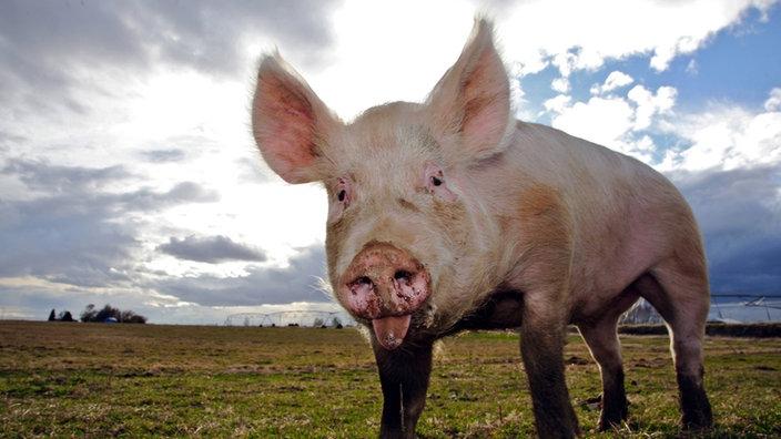 haustiere schweine schweine haustiere natur planet wissen. Black Bedroom Furniture Sets. Home Design Ideas