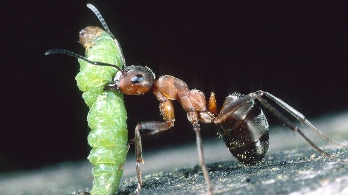 ameisen rote waldameise ameisen insekten und. Black Bedroom Furniture Sets. Home Design Ideas