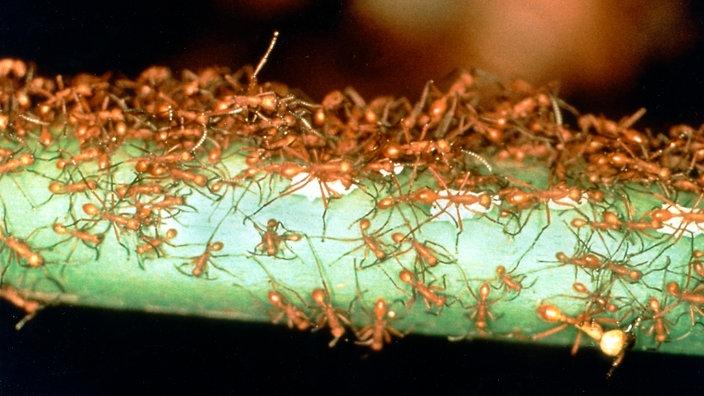 ameisen sch dliche ameisenarten ameisen insekten und. Black Bedroom Furniture Sets. Home Design Ideas
