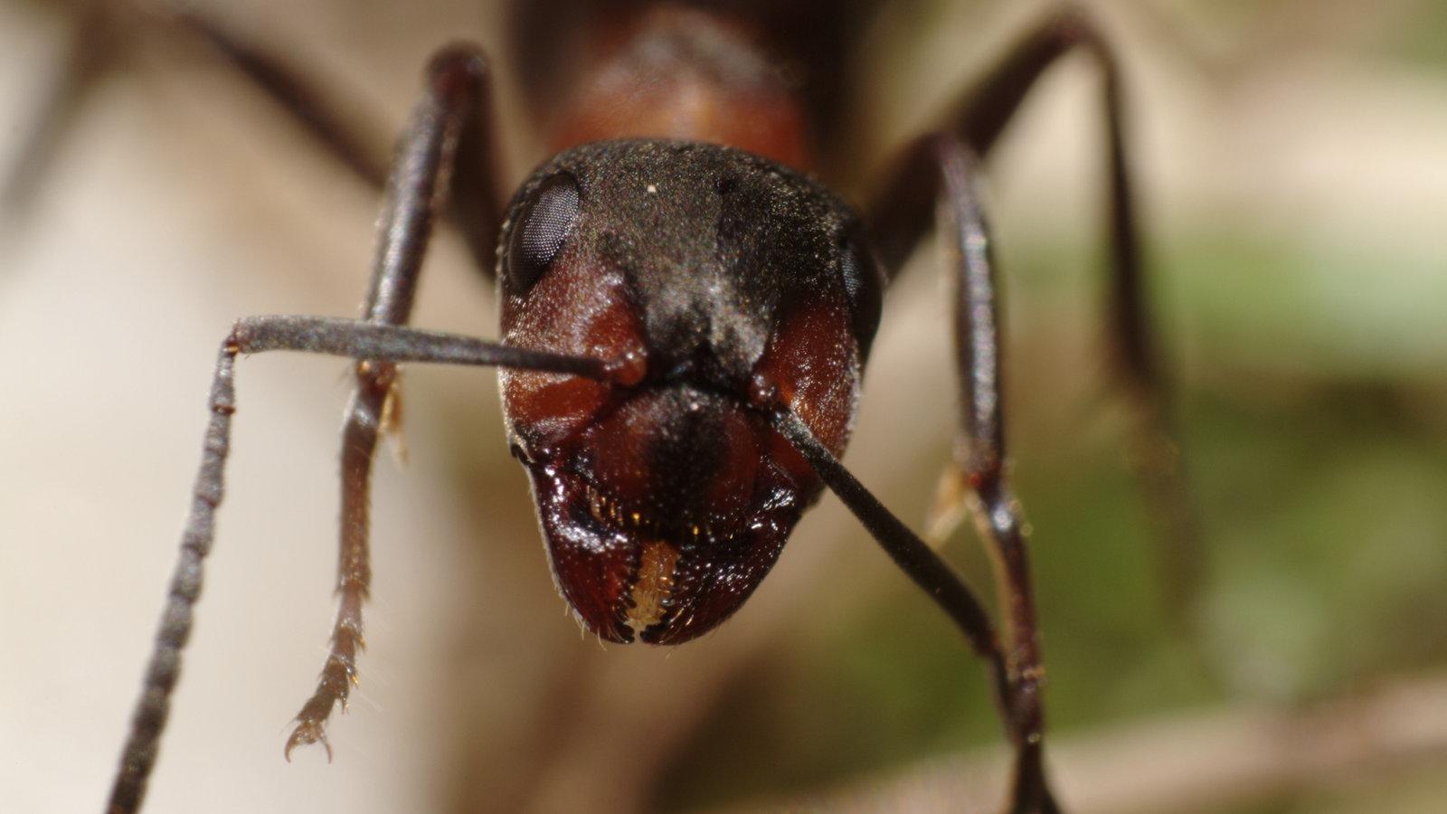 ameisen rote waldameise ameisen insekten und spinnentiere natur planet wissen. Black Bedroom Furniture Sets. Home Design Ideas