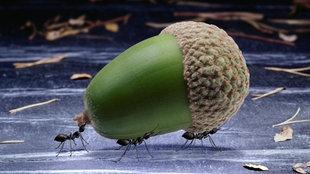Ameisen transportieren ihre Nahrung.
