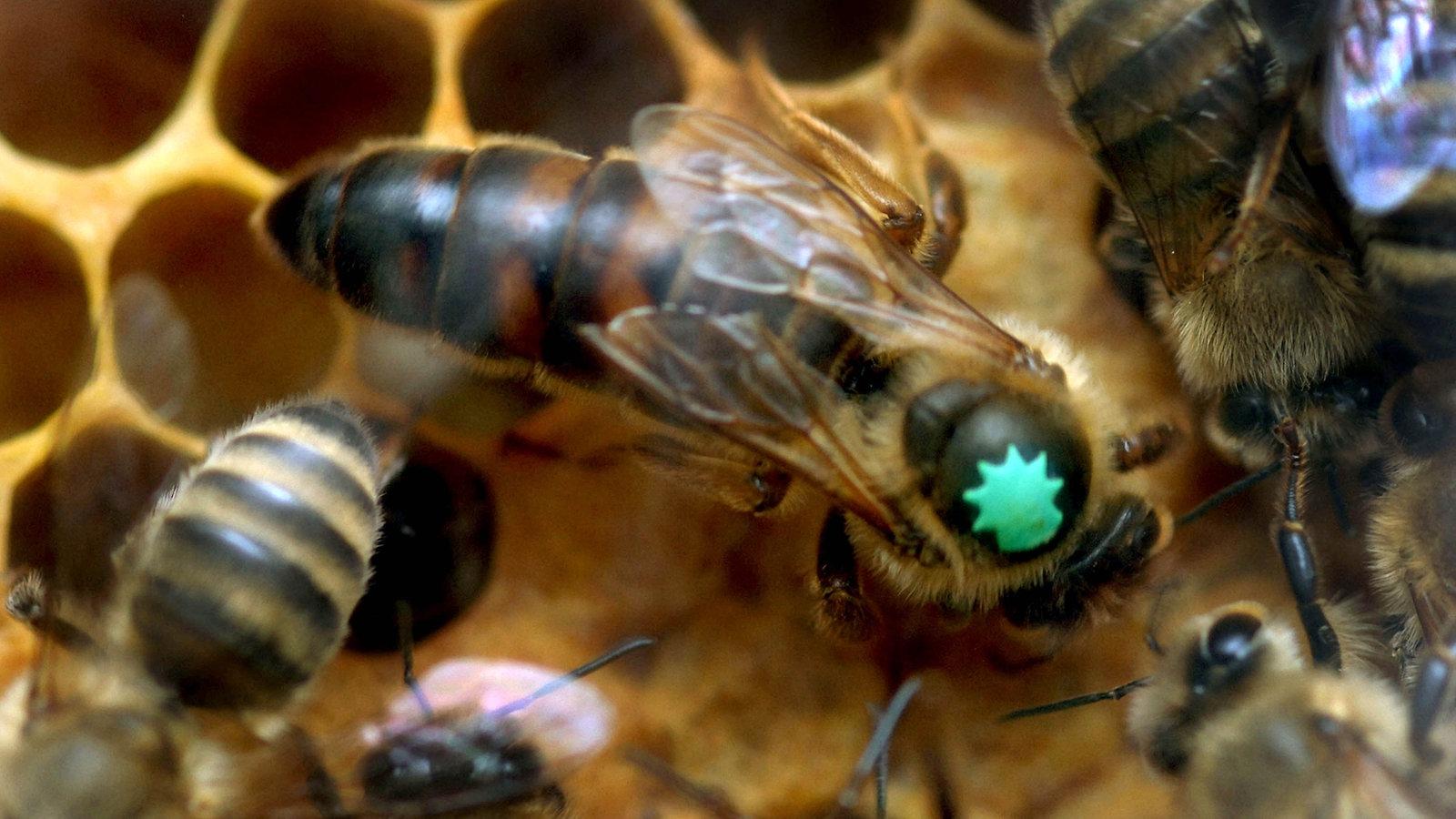 insekten und spinnentiere bienen bienen insekten und spinnentiere natur planet wissen. Black Bedroom Furniture Sets. Home Design Ideas