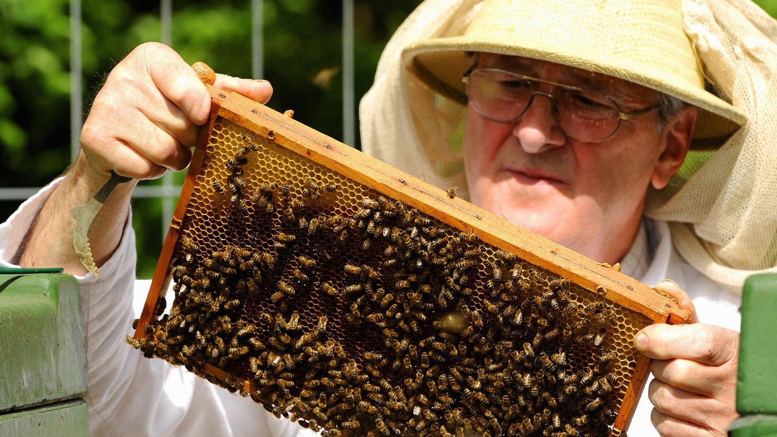 bienen honig bienen insekten und spinnentiere natur. Black Bedroom Furniture Sets. Home Design Ideas