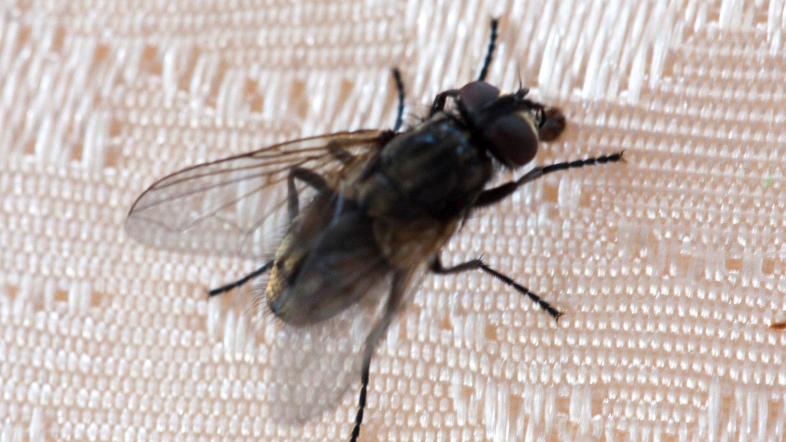 fliegen nervige superhelden natur wissen wdr. Black Bedroom Furniture Sets. Home Design Ideas