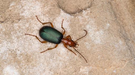 Käfer - Insekten und Spinnentiere - Natur - Planet Wissen
