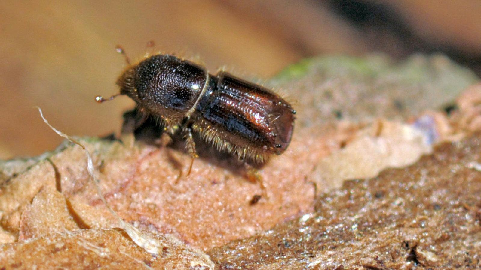 k fer n tzlinge und sch dlinge k fer insekten und. Black Bedroom Furniture Sets. Home Design Ideas