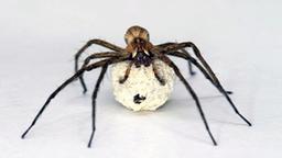insekten und spinnentiere spinnen insekten und. Black Bedroom Furniture Sets. Home Design Ideas