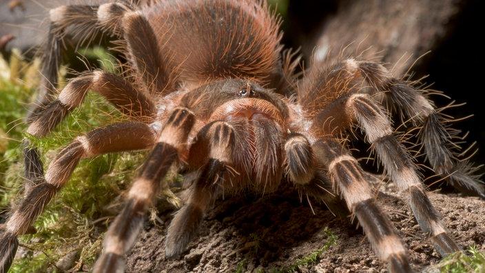 Spinnen Acanthoscurria 100 Gseapremiumxl So Bauen Ihre Netze