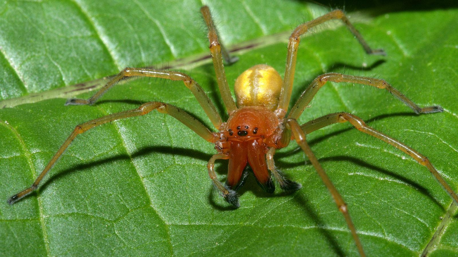 spinnen heimische spinnenarten spinnen insekten und. Black Bedroom Furniture Sets. Home Design Ideas