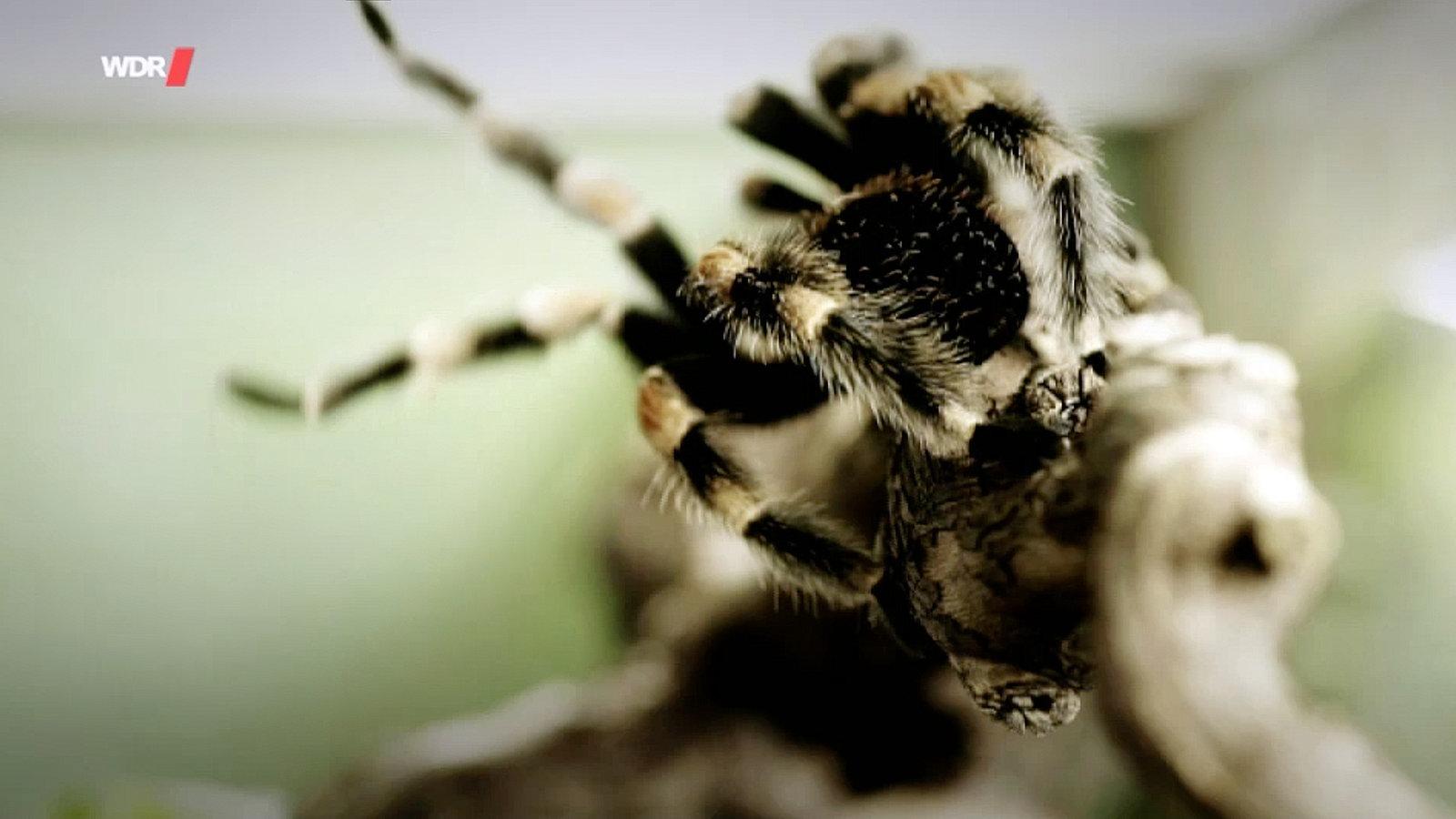 Spinnen Film