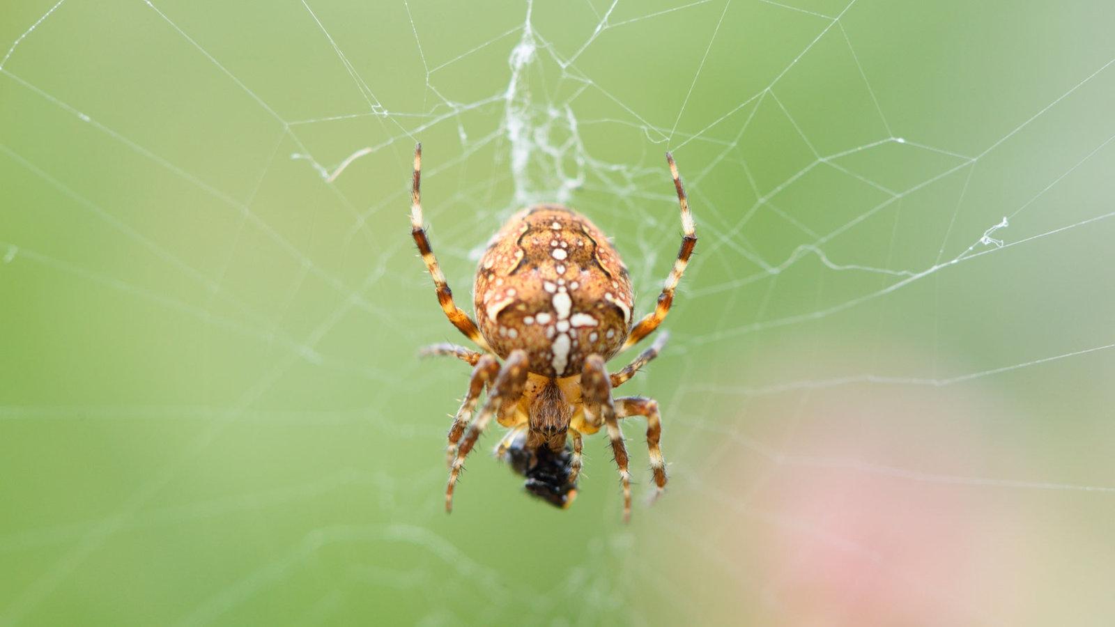 Sofa Images Spinnen Heimische Spinnenarten Spinnen Insekten Und