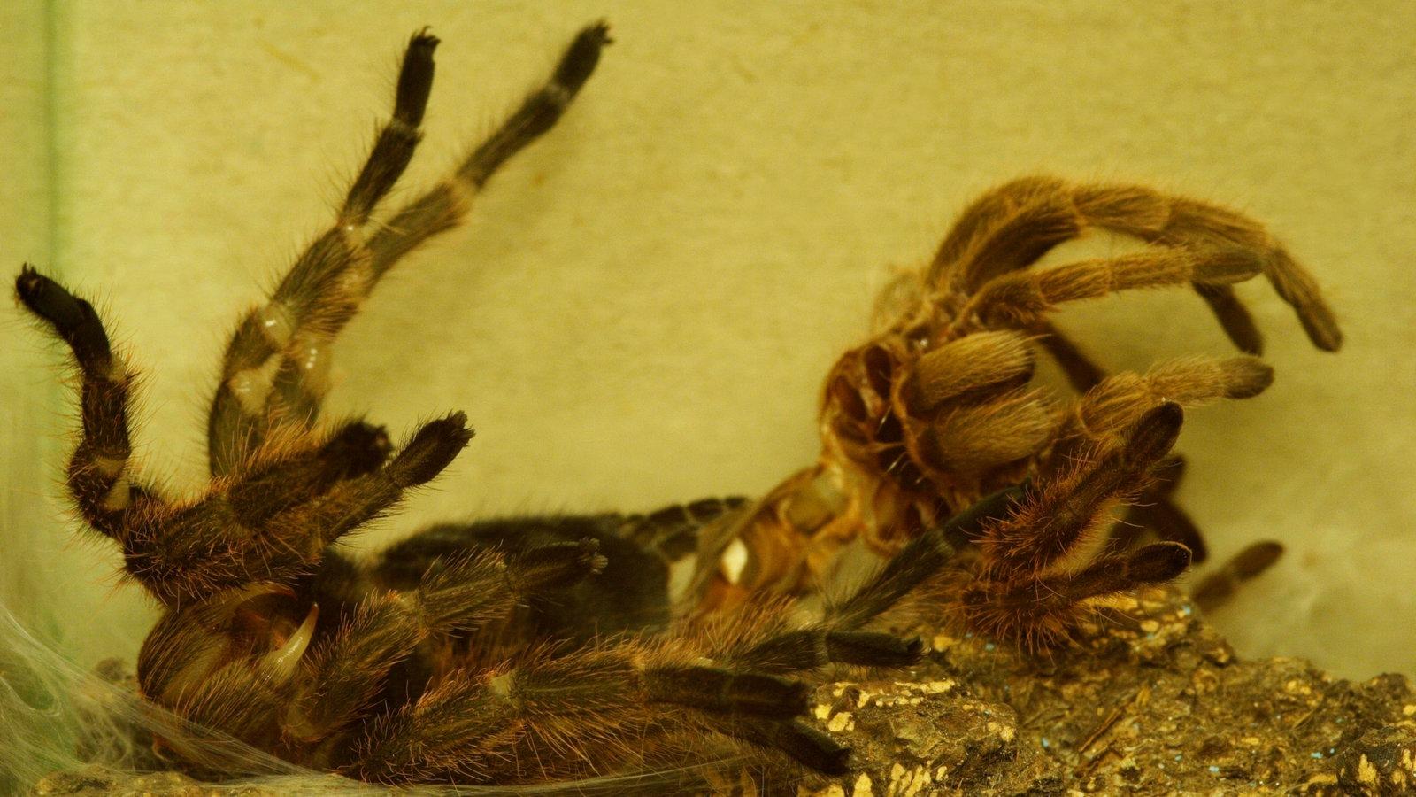 spinnen spinnen als haustiere spinnen insekten und spinnentiere natur planet wissen. Black Bedroom Furniture Sets. Home Design Ideas