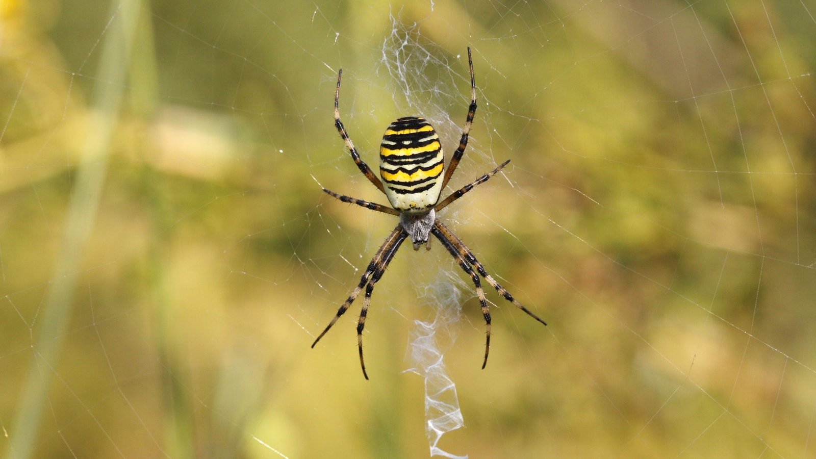 spinnen heimische spinnenarten spinnen insekten und spinnentiere natur planet wissen. Black Bedroom Furniture Sets. Home Design Ideas