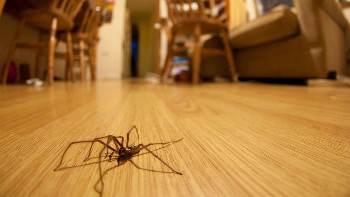 spinnen arachnophobie spinnen insekten und spinnentiere natur planet wissen. Black Bedroom Furniture Sets. Home Design Ideas