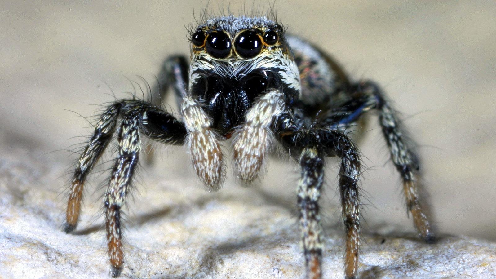 Spinnen Heimische Spinnenarten Spinnen Insekten und  : spinnen zebraspringspinne 100v gseagaleriexl from www.planet-wissen.de size 1600 x 900 jpeg 261kB